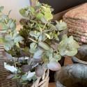 """Eucalyptus gren """"oliven"""" - 40 cm."""